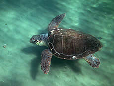 MEDITERRANEAN SEA TURTLES: their fate depends on the continuation of ongoing conservation measures