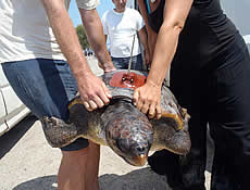 The Longest Reproductive Migration Of Greek Loggerheads