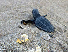 The very first Caretta caretta hatchlings swim in the Laconian Gulf